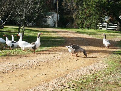 Orange geese