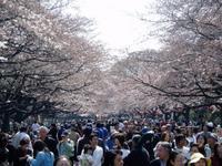 Sakuradori_2
